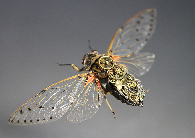 Empress Cicada / Pomponia Imperatoria